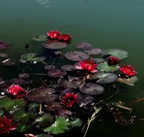 Water lily by Schneeengel