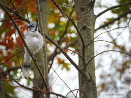 Bluejay in autumn by Mogrianne