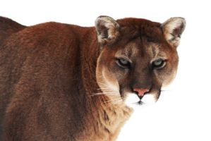 Mountain Lion 2 by Joe-Lynn-Design