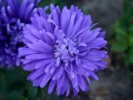 Aster by altruist