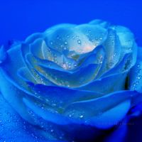 The mystery of a blue rose by WhiteBook