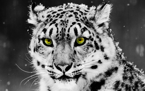 White Leopard by BubiMandril