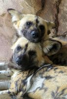 African Wild Dogs by LifeIsToBeHappy
