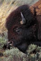 American Bison by Nate-Zeman