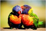 lorikeet gossip 1 by wildplaces