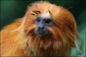 Golden Lion Tamarin 5 by SilkenWinds