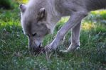 Photo: Eating Wolf by Mariesen