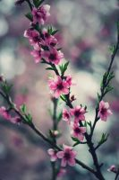 cherry blossoms by sarianna-v