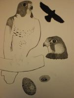 bird illustration- WIP by Scribble-Chick