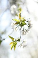 white flowers by enrico-palazzo
