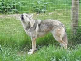 Peaches the Wolf-Dog Howling by lucky128stocks