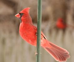 Cardinal Waiting by coastalwaters