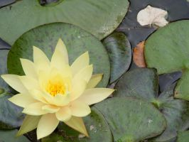 Water Lily by Christazee