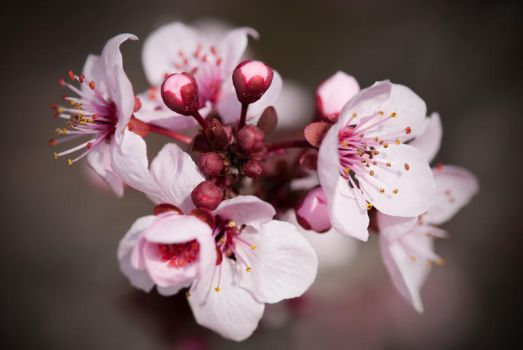 Peach Blossom by Chechipe