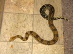 Snake 1 by Mind-Illusi0nZ-Stock