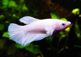 Yuuki, White Opaque HM Betta female by HappyBettas