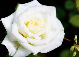white Rose by Luba-Lubov-13