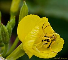 Yellow Crab Spider by Uberdadeh