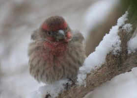 Angry Finch by LaurieSalzler