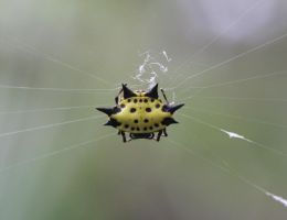 Spiny Orb Weaver 20D0016720 by Cristian-M