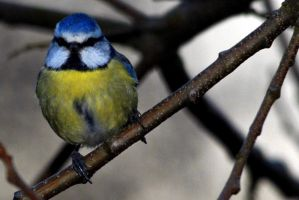 blue tit in the cold by Austinii