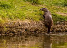 Wary Otter. by quaddie