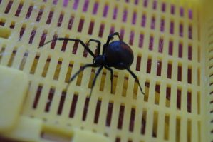 Red back spider/ Black Widow Stock by Buggie1112
