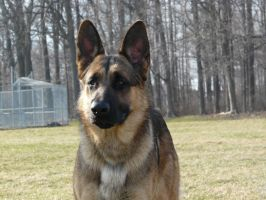 German Shepherd Stock 05 by Unseelie-Stock