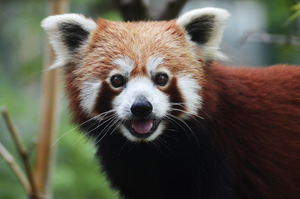 Red Panda 1 by Lakela