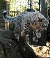 Snow Leopard Stock 27: Leaping Cub by HOTNStock