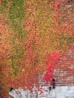 Autumn Vines on Brick Wall by SweetSoulSister