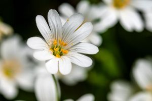 White spring flower by maXXie15