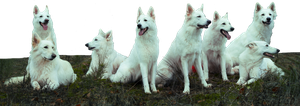 Herd of White Shepherds stock PNG by Shadow-of-Nemo