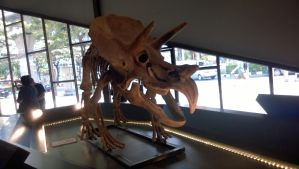 Triceratops fossil by moonofheaven1