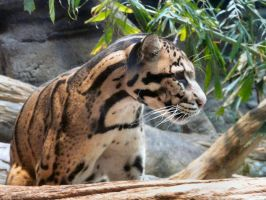 Clouded Leopard VI by Jisei