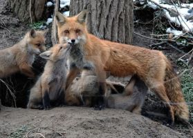 Red Fox Mom and Kits by lartdenature