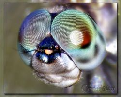 Dragonfly or Southern Hawker by Gooiool