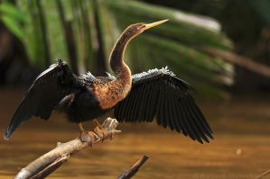 Anhinga on the Show Floor by robbobert