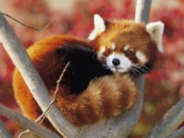 Red Panda Frosted Glass by Lushop223