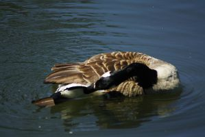 cleaning canadian goose 2 by marob0501