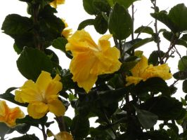 Yellow Hibiscus by RiverKpocc