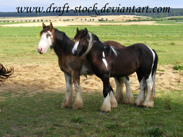 Gypsy Vanner Stock I by Draft-Stock