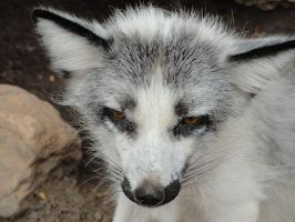 AlZ Aug28: Marble Fox 3 by FamilyCanidae