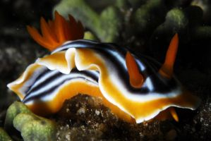 sea slug 1 by carettacaretta