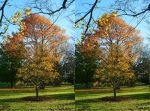 Kew Gardens Autumnal Canadian Maple Stereo by aegiandyad