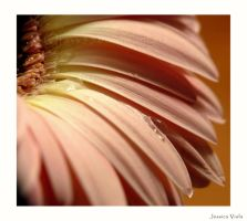 Gerber daisy by javv556