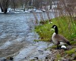 Canadian Goose about to Swim by coffeenoir
