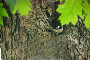 Chickadee In the Tree 2 by Miss-Tbones