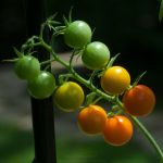 Baby Tomatoes 07 by Suinaliath