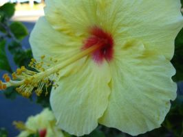 Hibiscus flower by fishifishy